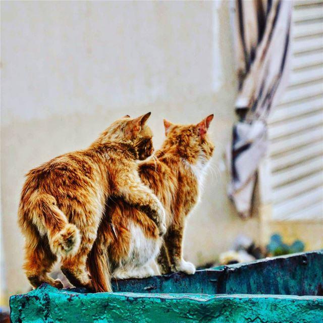 Chaher chbat chaher el bsaynet :) Lebanon cats love february ... (Jdeïdé, Mont-Liban, Lebanon)