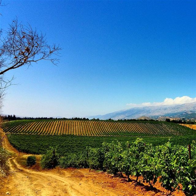The vineyards of kefraya grapes vines vineyard kefraya grapejuice...