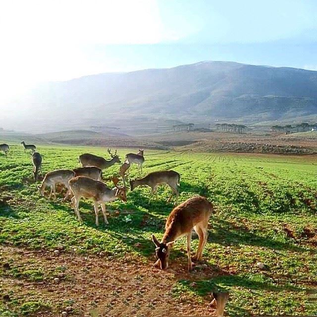 westbekaa mountainsoflebanon agriculture deer naturelover ...