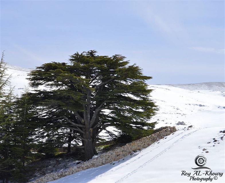 cedars lebanon livelovelebanon livelovecedars ... (Cedars of God)