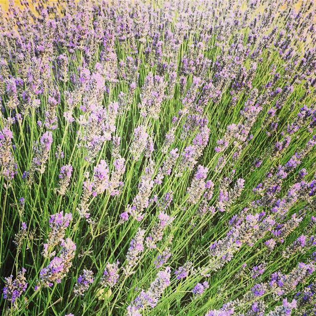 nature flower lavender Faraya Lebanon...