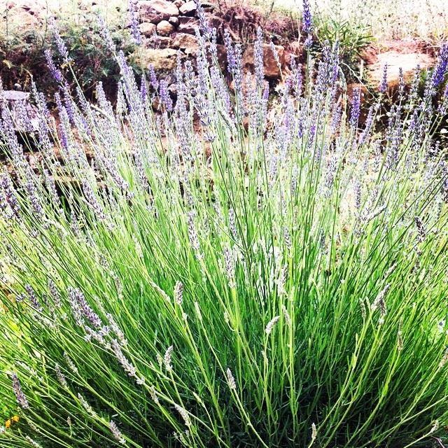 nature lavender faraya Lebanon...