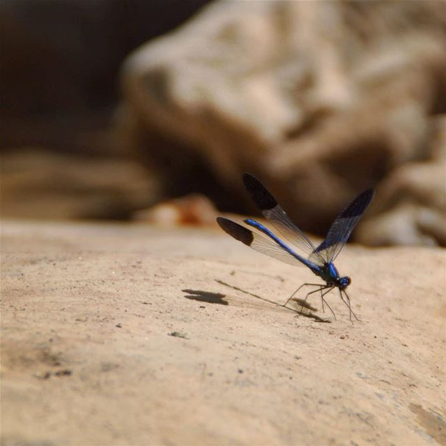 Delicate beauty. dragonfly blue beauty insect fly lake river ... (Chouwen Lake)