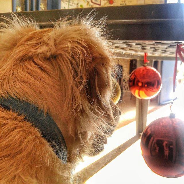 🎄 Woody hehasmyheart ♥ ilovemydog purelove goldenretriever ... (Marsē)