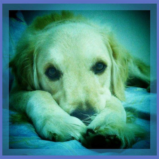 🐾♡ paws ♡🐾 Woody hehasmyheart ♥ ilovemydog purelove goldenretriever...