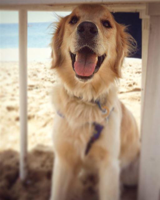 ☀ in the shade☀ Woody ilovemydog beach shade happyface adorable ... (C-Lemon)