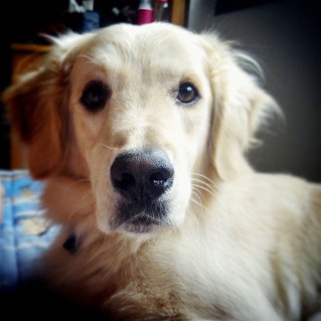 🐾 Woody stareatme ilovemydog cuddles kisses love goldenretriever ...