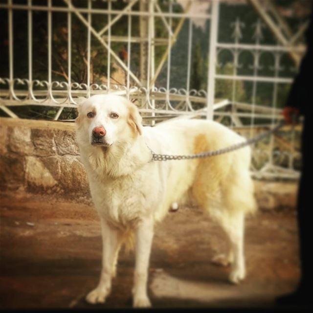 🐾 beautiful Penelope Penelope randomly goldenretriever goldenlove ... (Bsalim, Beirut)