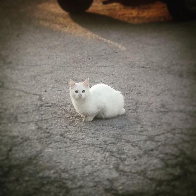 kitty whitecat catstagram instacute animals animallover ...