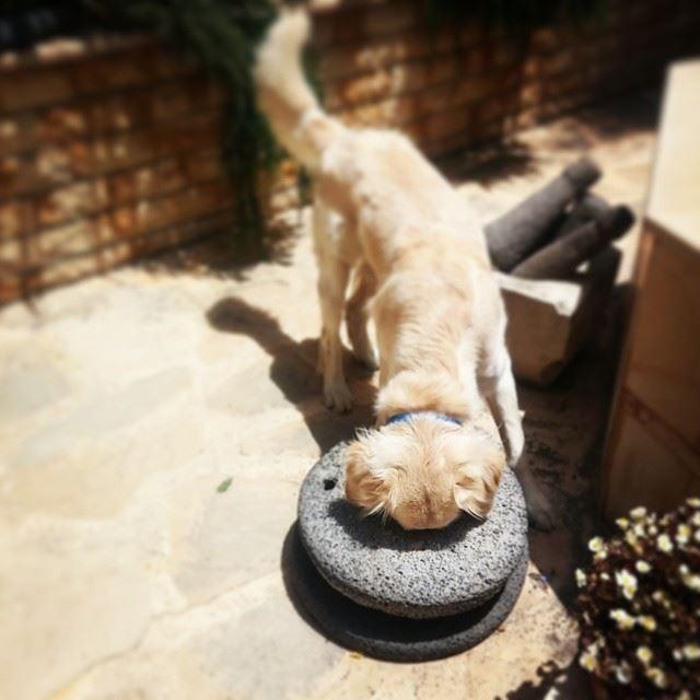 Woody crazy curious fluffy love goldenretriever ilovemydog ...
