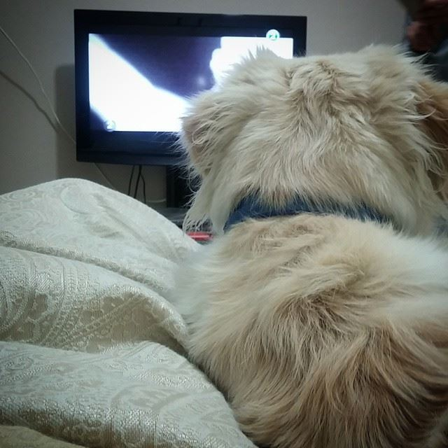 Woody thoseears cute fluffy adorable love sleepy tv bed ...