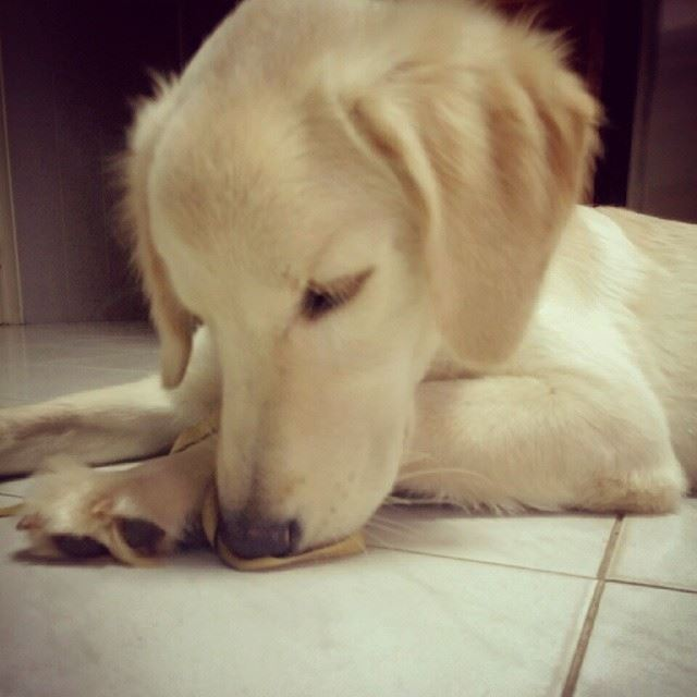 Woody goldenretriever dog puppy cute adorable ...