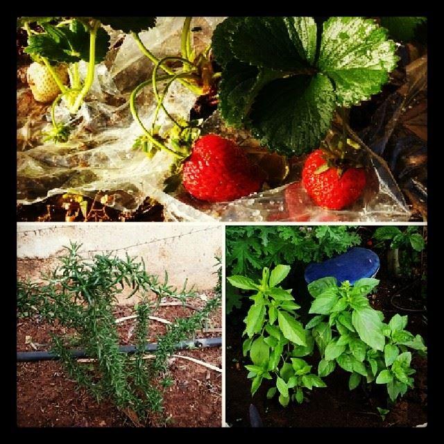 my plants strawberries basil rosemary home gardening beirut ...