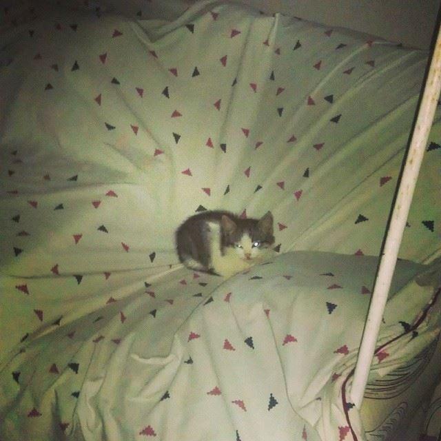 tonight's guest tiny cat supercute greyandwhite kitty swing hello ...