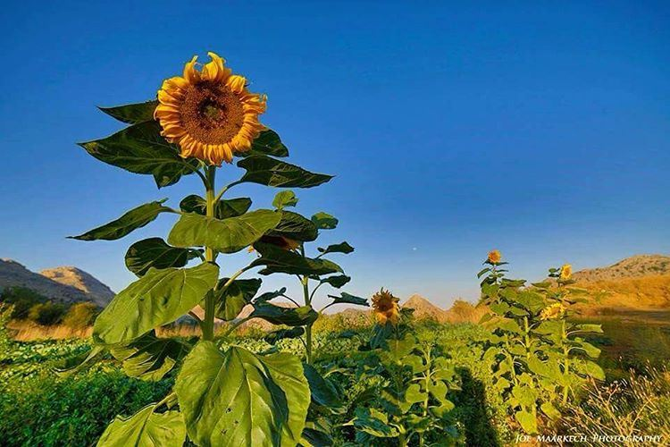 🌻🙂 sunflower sky landscape sunnyday sun mountains lebanon ...