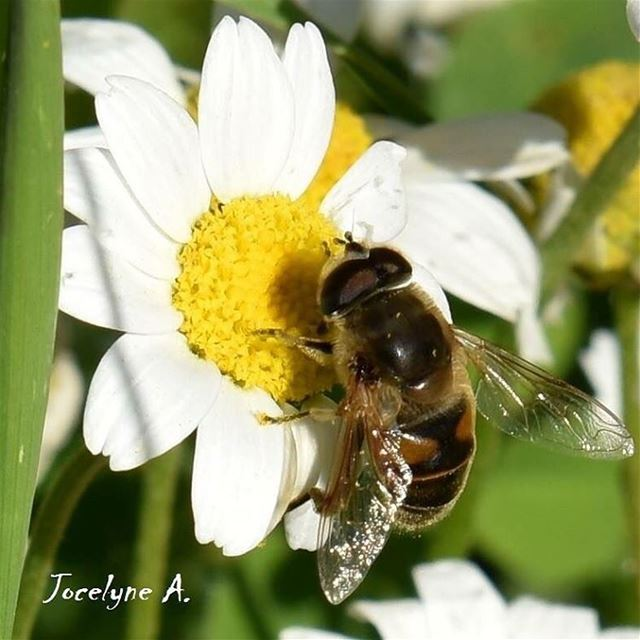 The busy bee has no time for sorrow... bee flowers spring white yelow... (Ashkout)