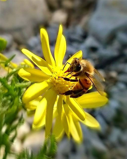 Good morning dear followers with this beautiful bee 🐝Photo taken by @pla (Tyre, Lebanon)