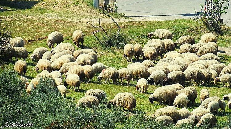 Counting sheep to help you sleep😴. lebanon wearelebanon ... (Batroûn)