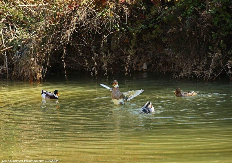 I don't like to dance 😋 duck lake nature water lebanon igers ...