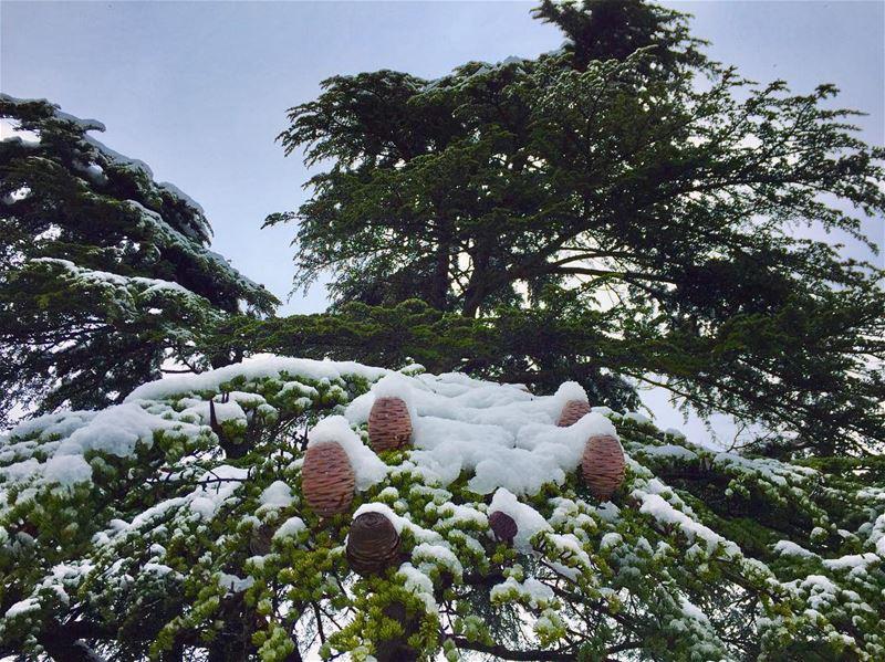 Lebanese cedars (Cedrus libani)........ lebanesecedar ... (Al Shouf Cedar Nature Reserve)