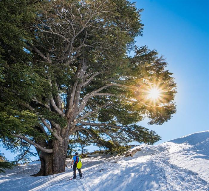 The cedars that represent a nation lebanon lonelyplanet ... (Cedars of God)