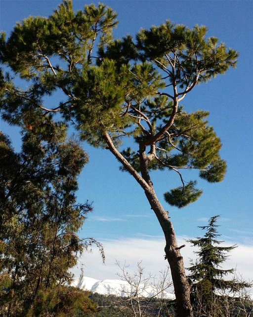 Always loved pine tree; fun childhood memories, gathering pine cones,... (Chouf)