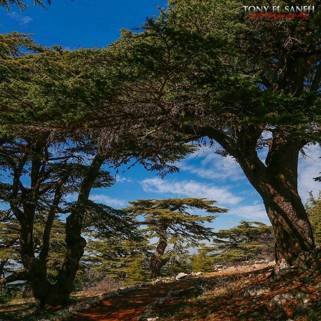 whatsuplebanon worthdoinglebanon insta_lebanon instalebanon instalebnen... (Barouk Cedar Forest)