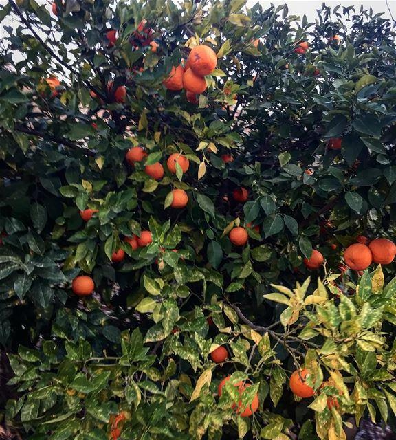 instame instamood instahub orange tree lebanon fruits nature...