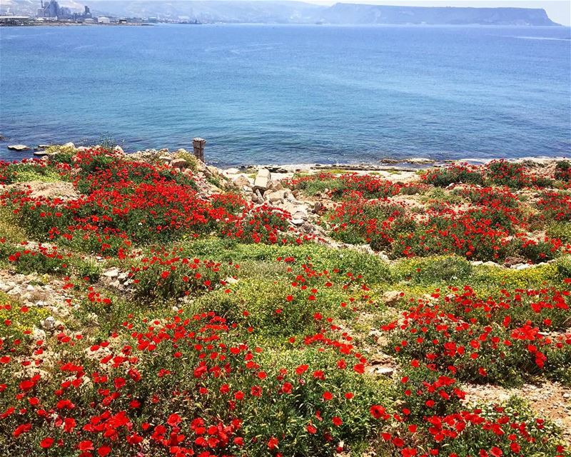 So much life in this place, flowers grow on a salted sea soil, filtering... (Anfeh, Lebanon)
