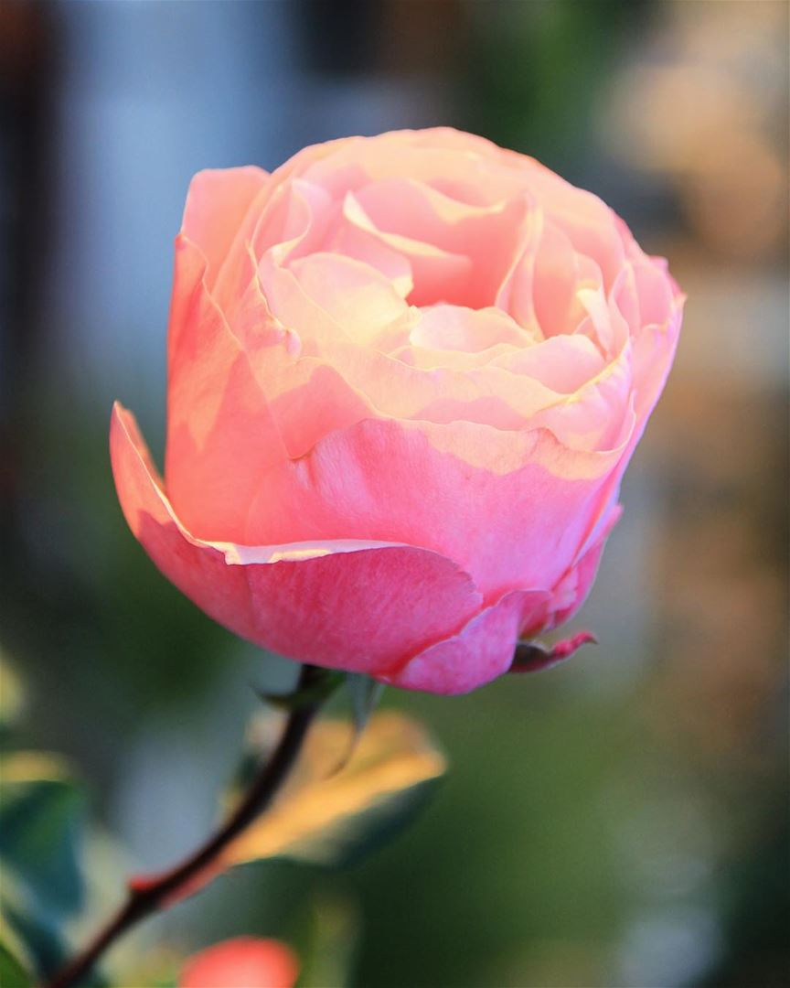 """""""Grow fragrance and thorn..."""" rose fragrance smell odor color beauty..."""