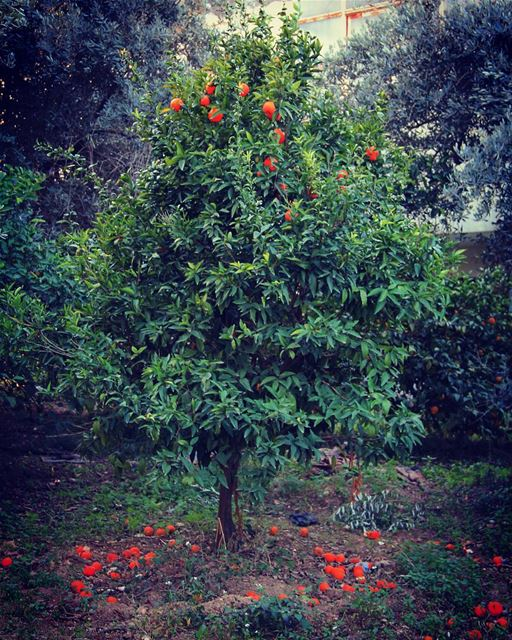 A tree with gifts.. season orange tree green nature gift festive ... (Akkar-majdala)