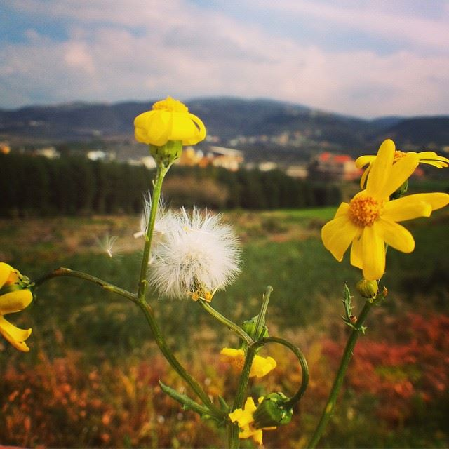 """It refers to dent-de-lion (lion's tooth).""  dandelion  french  flower ..."