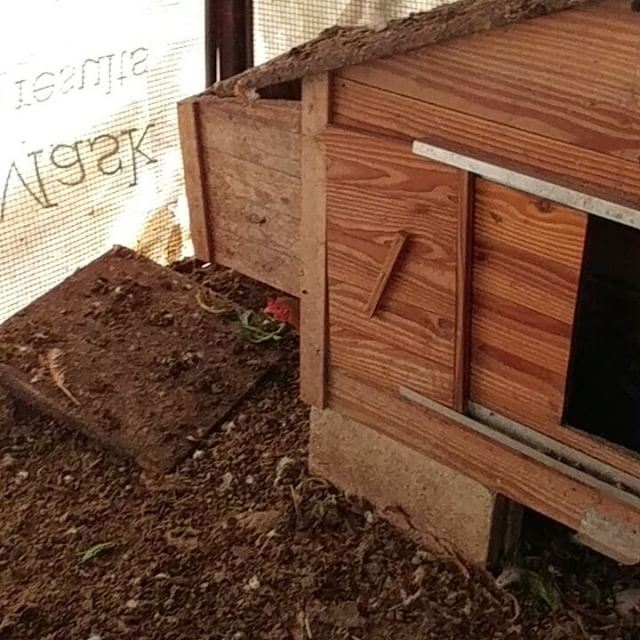 Just laid her egg and took off, still warm. hens layingegg henhouse ... (Dayr Al Qamar, Mont-Liban, Lebanon)
