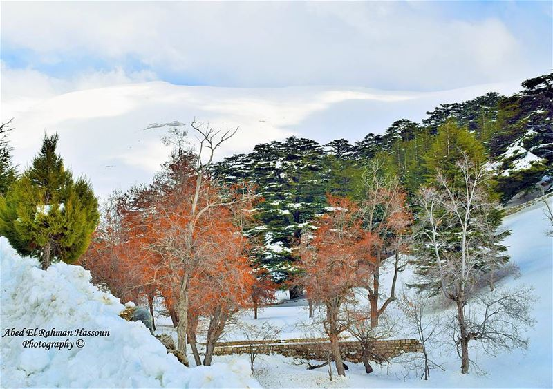 Cedars' forest of Bsharri❄❄❄ | Like my photography Facebook page ╰▶ Abed... (Cedars Forest)