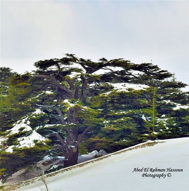 Good morning from the Cedars 😊 | Like my photography Facebook page ╰▶... (The Cedars of Lebanon)