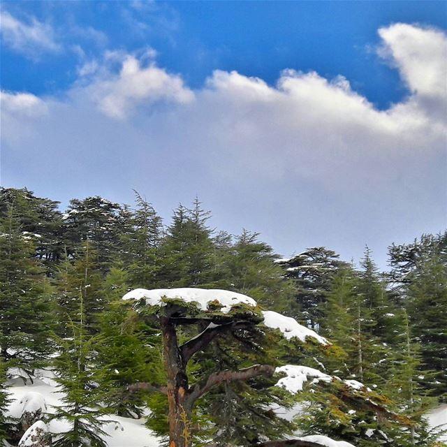 """Cedrus libani"", our great cedars ❄❄❄ Lebanon Lebanese Alps Arz ... (Cedars Of Lebanon)"