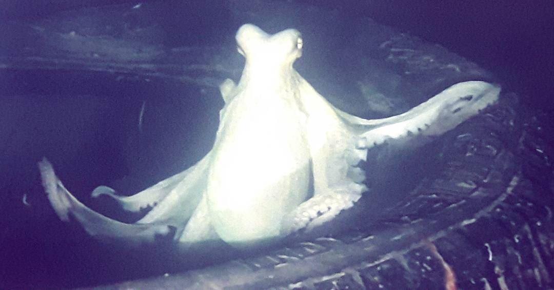 Angry Lebanese Octopus 🐙 Lebanese Octopus Wild Animals wildlife ...