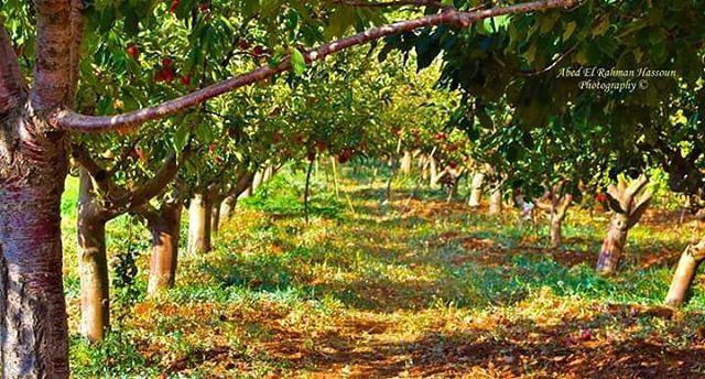 موسم التفاح في قرية جرد النجاص، جبال الأربعين/الضنية   Like my photography... (Jerd Njas)