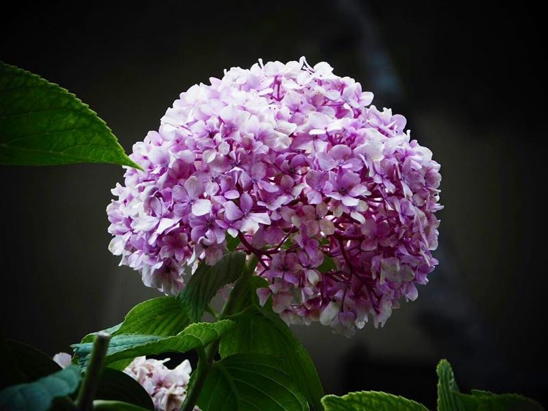 picoftheday lebanon beirut nature naturelover closeup flower pink green...