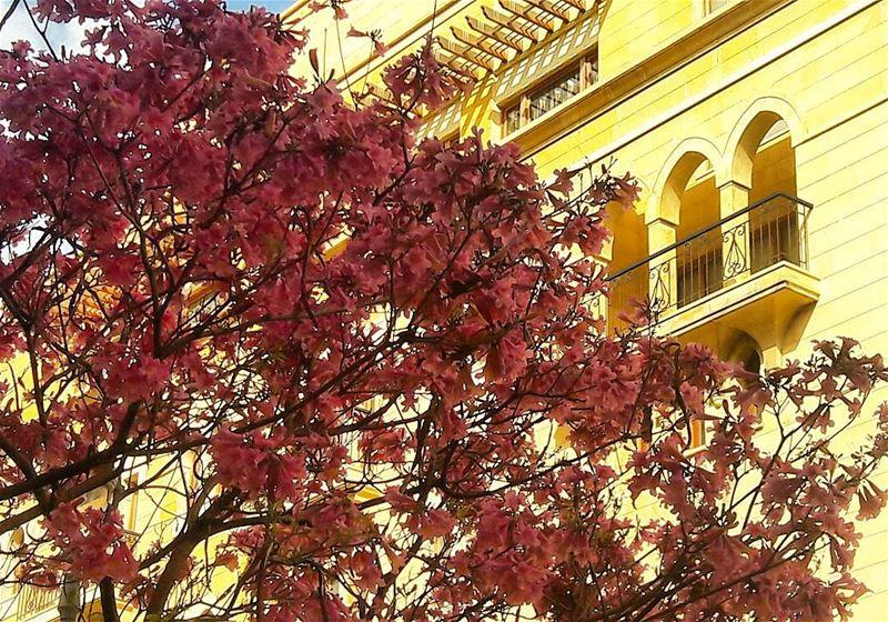 🌹🌹🌹 Amazing Beirut Beyrouth Blossom blossoming Pinky ... (Beirut, Lebanon)