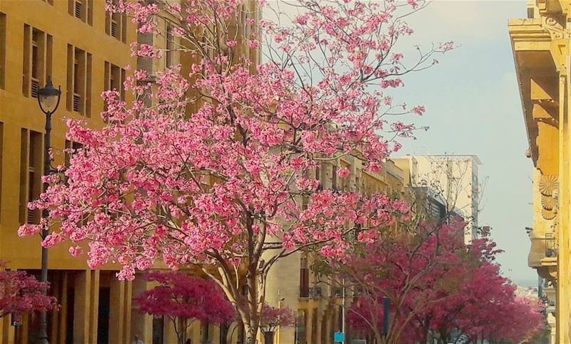 Pinky Beirut Beyrouth Blossom blossoming Pinky LiveLoveBeirut ... (Beirut Down Town)