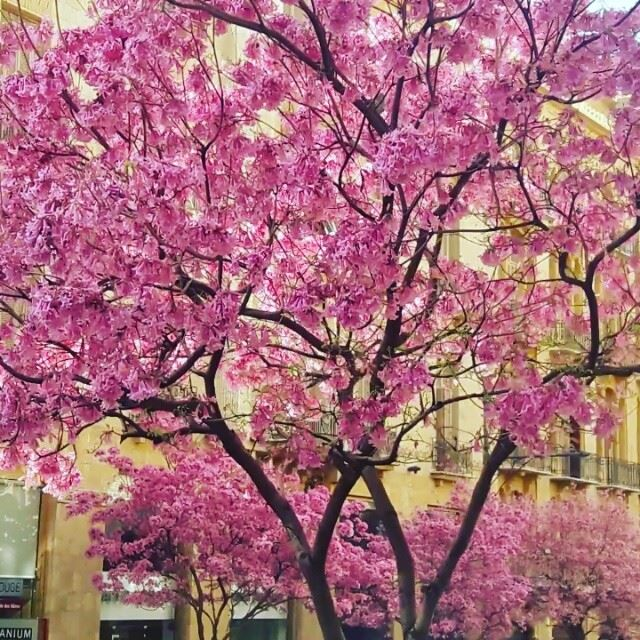 Beirut is blossoming Live from the Amazing Beirut Beyrouth Blossom ... (Beirut Down Town)