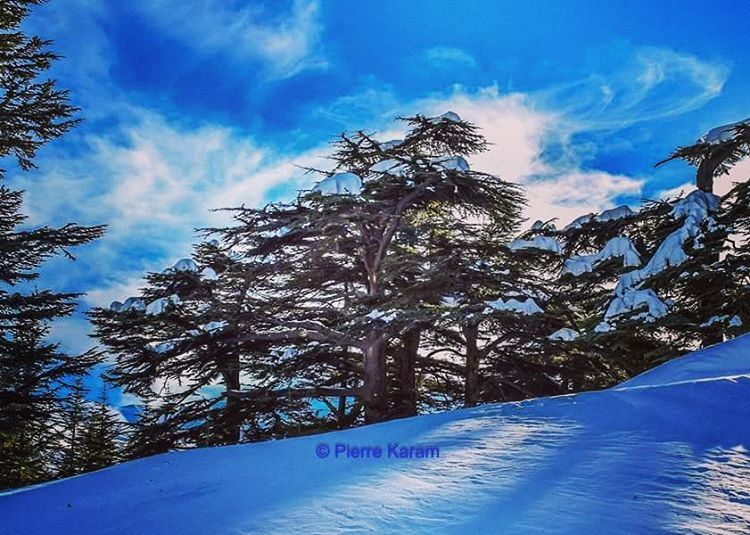 cedars of god bechari lebanon snow blue sky livelovelebanon ...