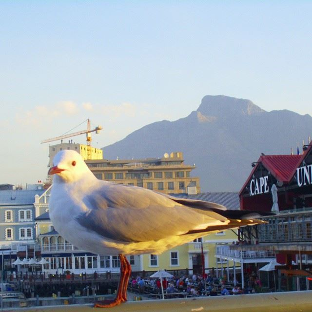 Morning little pigeon! Cape_Town Africa South_Africa Table_mountains ...