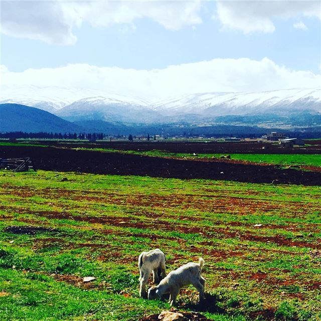 Goats picnic 😁😆 bekaa livelovebekaa livelovebekaa lebanon ...