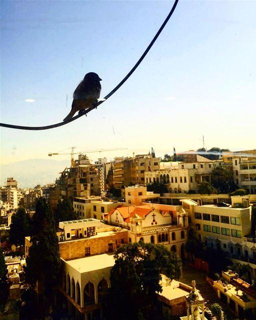 عصفور ببيروت bird birds lebanon ... (Achrafiyeh)