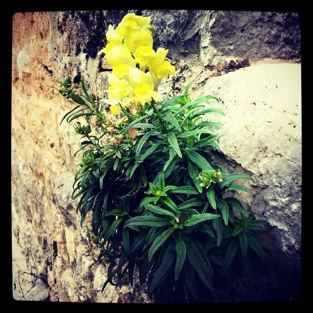 yellow flower nature Lebanon instaleb ...