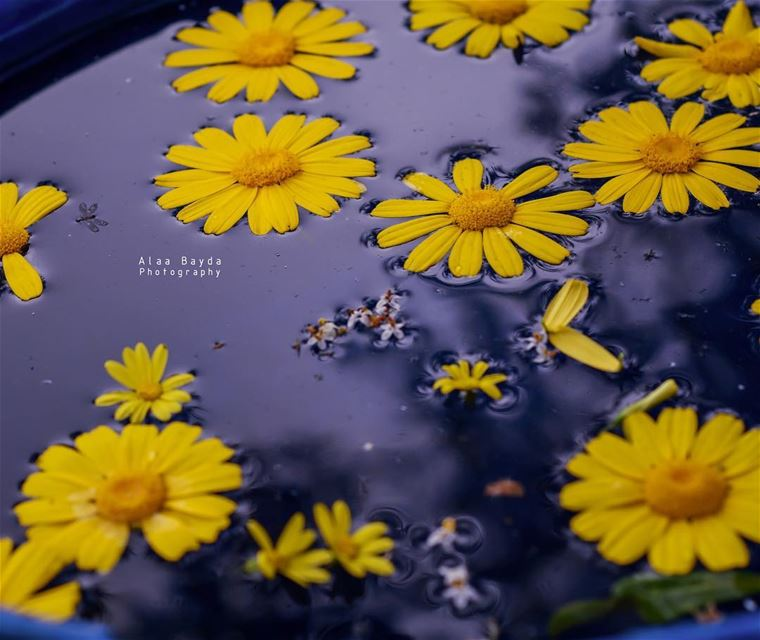 flower flowers nikon photography water yellow lebanon...