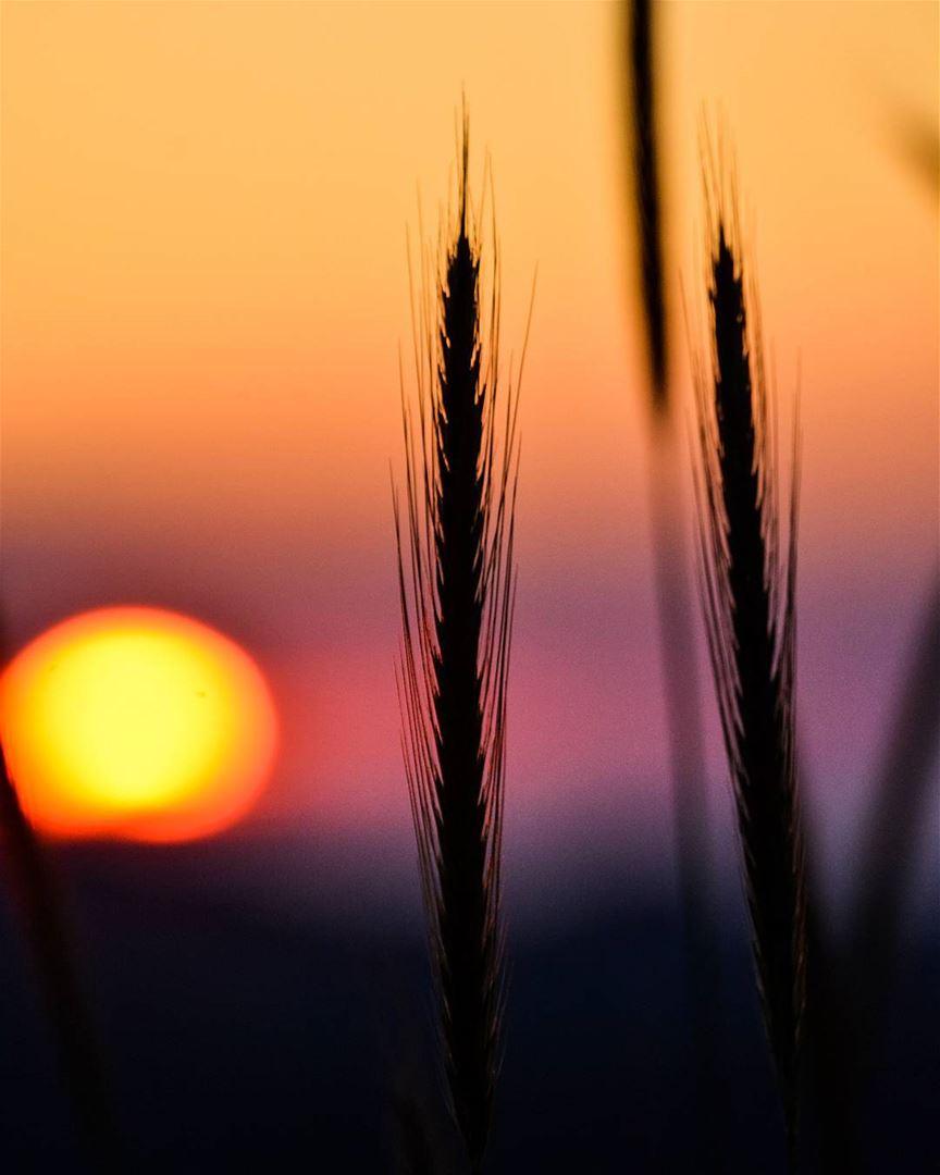 .Good evening dear friends from faqra! Beautiful sunset behind the wheat.... (Faqra, Kfardebian)
