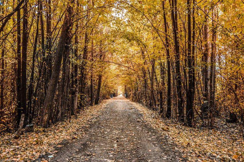 Hello dear friends from Taanayel! First days of fall !! The golden forest.... (Deïr Taanâyel, Béqaa, Lebanon)